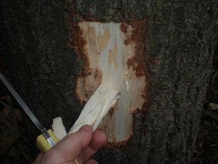 récolte de l'écorce interne de pin