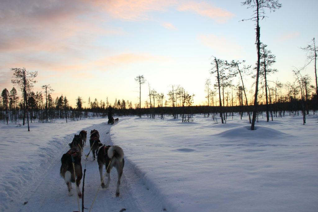 vacances de noël en Laponie - activités chien de traîneau